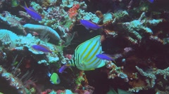 Ornate butterflyfish feeding Stock Footage