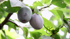 Two plums on a tree branch, orchard, harvest, autumn fruits, farming Stock Footage