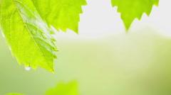 Summer rainstorm - Raindrops on creeper leaves - close up Stock Footage