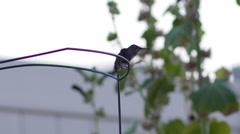 Baby humming bird in the garden Stock Footage