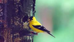 American Goldfinch Attacked Stock Footage