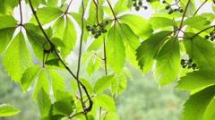 Summer rainstorm - Raindrops on creeper leaves Stock Footage