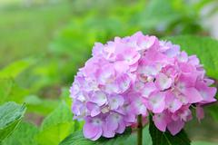 Pink hydrangea flowers in front of green leaf background Stock Photos
