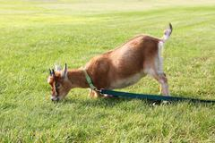 Hungry pet goat pulling on leash Stock Photos