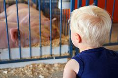 young child looking at pigs at county fair - stock photo