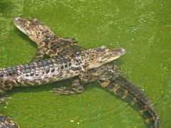 two alligators - stock photo