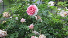 Fresh and wilted pink English roses in the heavy rain, garden, raining day Stock Footage