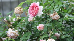 Wilted flowers, summer rain in rose garden, pink English roses Stock Footage