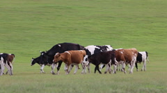 Cows walks on the grasslands - stock footage