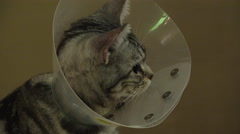 Grey Kitty With Protective Cone Collar On Its Neck 4K Stock Footage