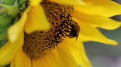 Bee on flower Stock Footage