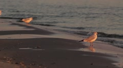 Gulls in the evening Stock Footage