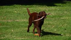 Labradors playing in the park Stock Footage