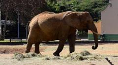 Bull Elephant Eats Hay, HD, 1080 Stock Footage