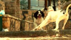 Stock Video Footage of cute dogs play and chase each other