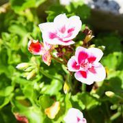 white and red amaryllis - stock photo