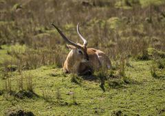 Blackbuck antelope Stock Photos