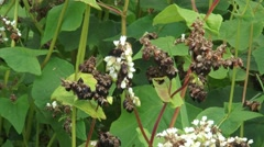 Fagopyrum esculentum, buckwheat in bloom + seeds ripening - zoom out Stock Footage