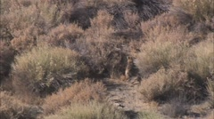 Desert Plain Coyote Stock Footage