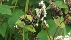 Fagopyrum esculentum, buckwheat seeds begin to mature - close up Stock Footage