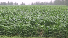 Severe storm hits corn crop hard heavy rain storm and wind pummel corn crop Stock Footage