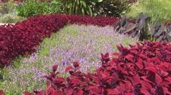 Red Coleus in Garden Stock Footage