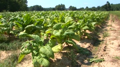 Tobacco Field Stock Footage