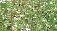 Fagopyrum esculentum, ripening buckwheat field,  seeds begin to mature Stock Footage