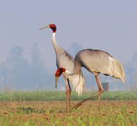 Sarus crane (grus antigone) Stock Photos