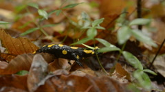Black & Yellow Salamander in Leaf Litter Stock Footage