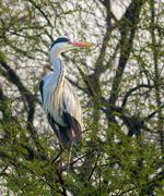 grey heron (ardea cinerea) - stock photo
