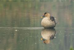 spot billed duck (anas poecilorhyncha) - stock photo