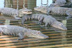 alligators - stock photo