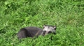 Young Raccoon Dog finish relaxing on grass close up HD Footage