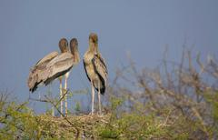 juvenile painted storks (mycteria leucocephala) - stock photo