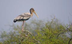 juvenile painted stork (mycteria leucocephala) - stock photo
