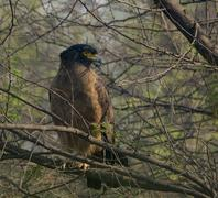 crested serpent eagle (spilornis cheela) - stock photo