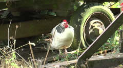 Chickens in farm yard 2 Stock Footage