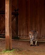 Stock Photo of Lonely Kangaroo
