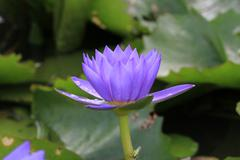 Water Lily flower with raindrop Stock Photos