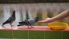 Girl Feeds the Dove. Stock Footage