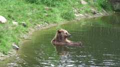 4k Brown Bear refreshing in water at a hot summer day Stock Footage