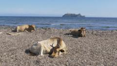 Cows sitting in the mediterranean beach of Barcaggio Stock Footage