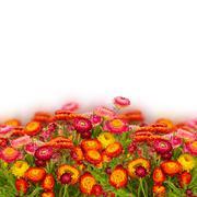 Everlasting flowers Stock Photos