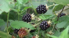Autumn Hedgerow Fruit Blackberries Nature Background Stock Footage