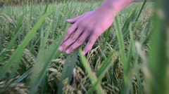 Green field Rice with hand Stock Footage