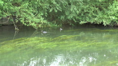 Coots on Kennet 51 Stock Footage