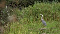 Wildlife Bird Heron Hunting Turns To Camera and Fly's Away Nature Background Stock Footage