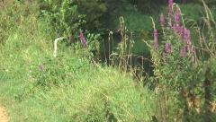 Heron on Kennet taking off 01 Stock Footage
