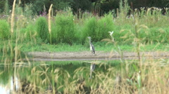 Heron on Fobney nature reserve 53 Stock Footage
